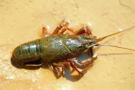 cangrejos-de-rio