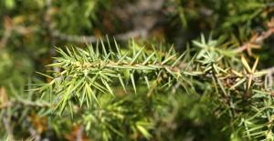 enebro-poder-curativo-plantas-hierbas